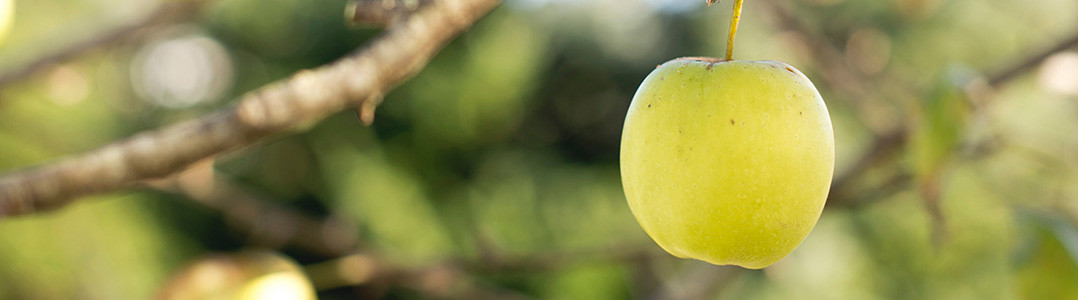 A yellow apple hanging off a tree