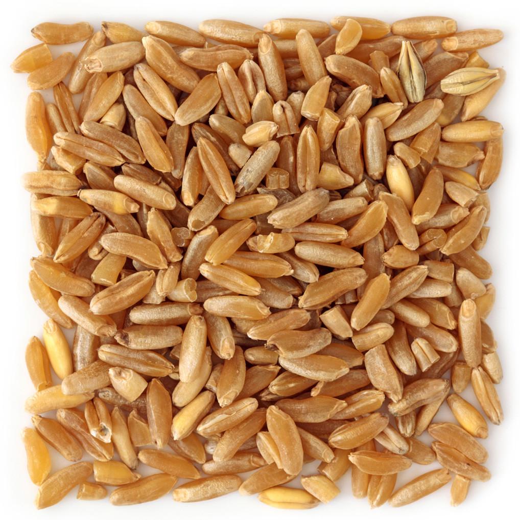 Raw kamut (Khorasan wheat) grains