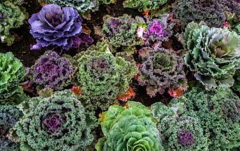 Colorful varieties of kale
