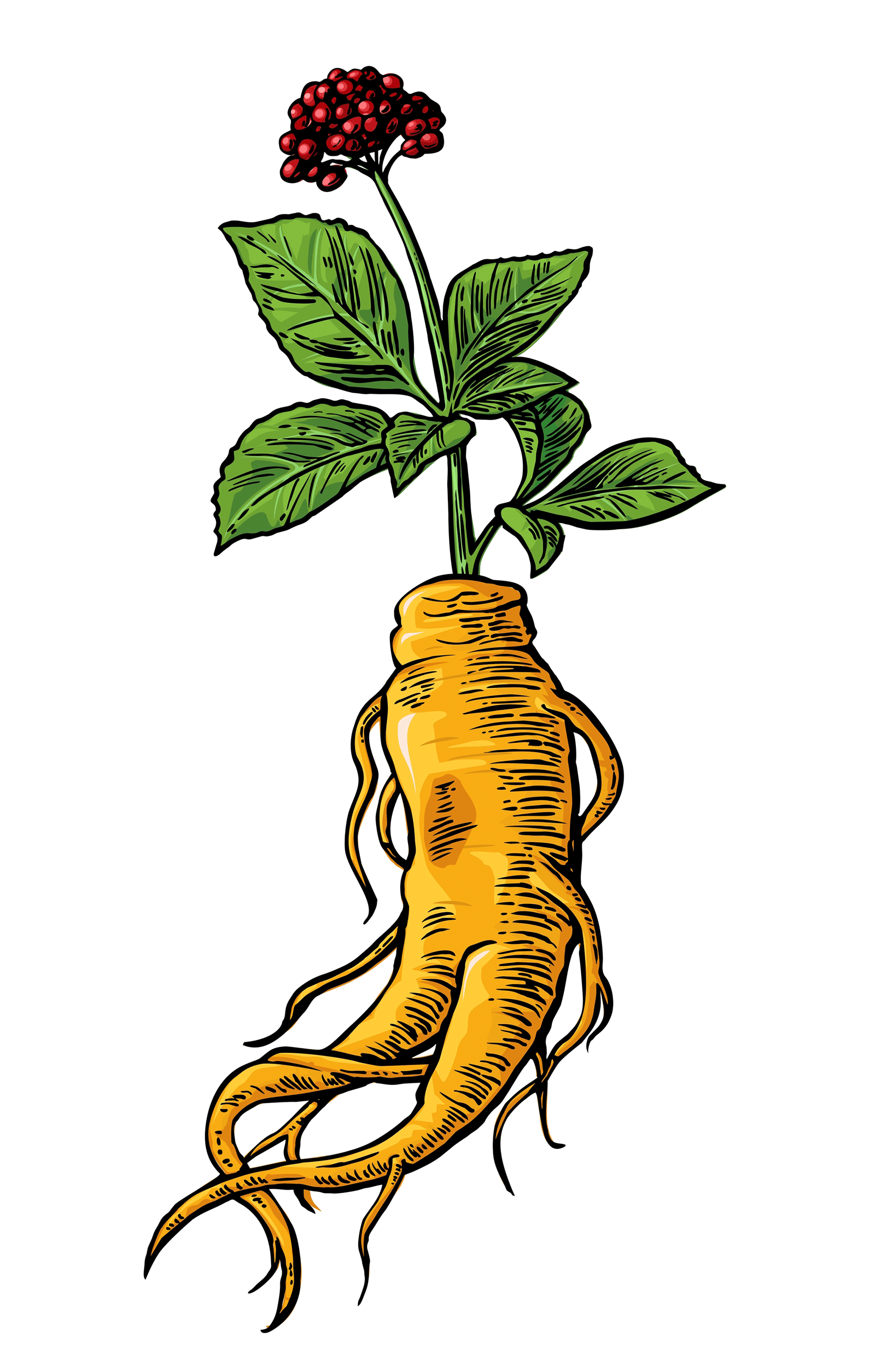 A sketched colorful illustration of a whole ginseng plant, including its fleshy roots.