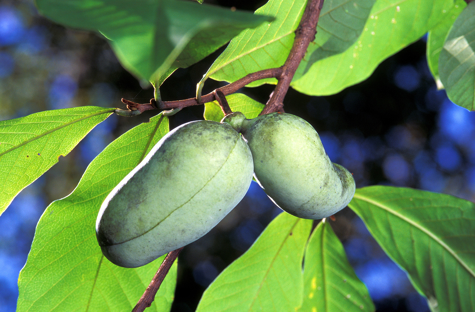 2 pawpaw fruits growing from a tree branch.
