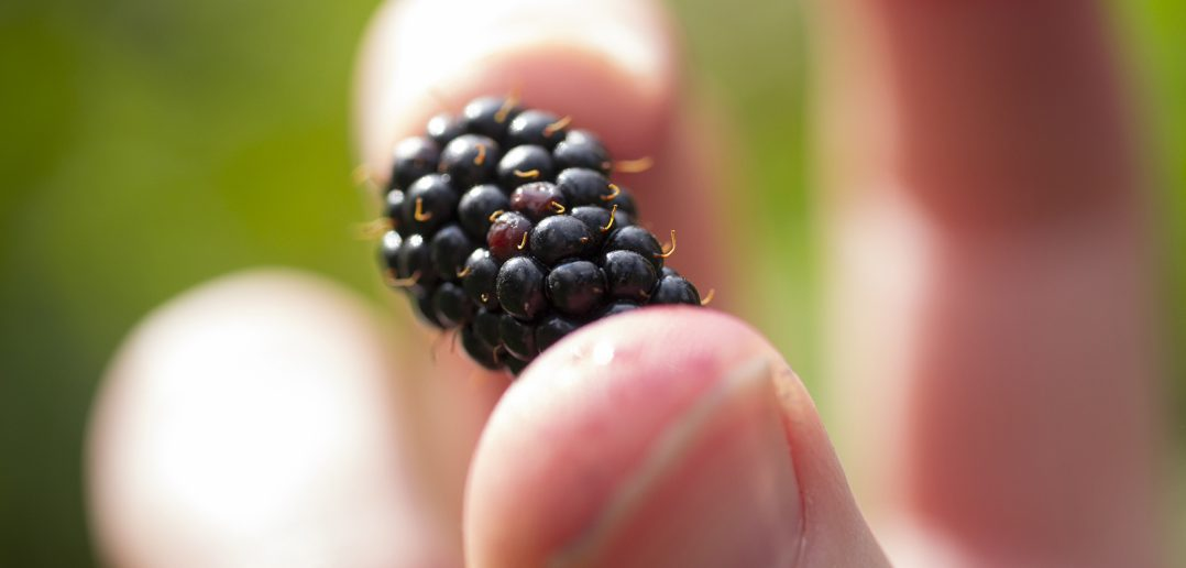 A wild blackberry picked and held by hand (close-up view)