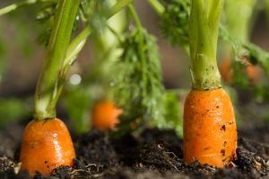 Organic carrots growing in lush soil of urban garden