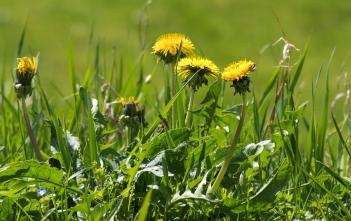 dandelions in the foreground with grass behind