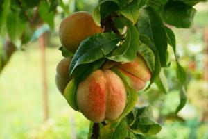 ripe peaches hanging on tree in an orchard