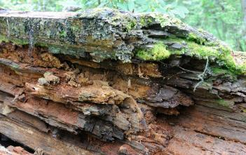 Rotting log used in kugelkultur