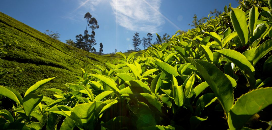 tea plantation with closeup of leaves