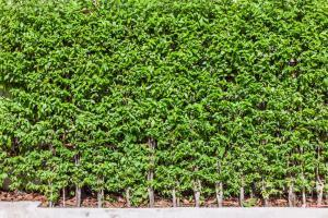 microclimate created by wall of densely planted trees