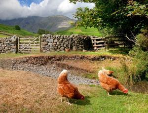 two chickens grazing in a pasture