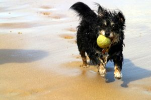 holistic pet care: dog with ball running for natural movement exercise