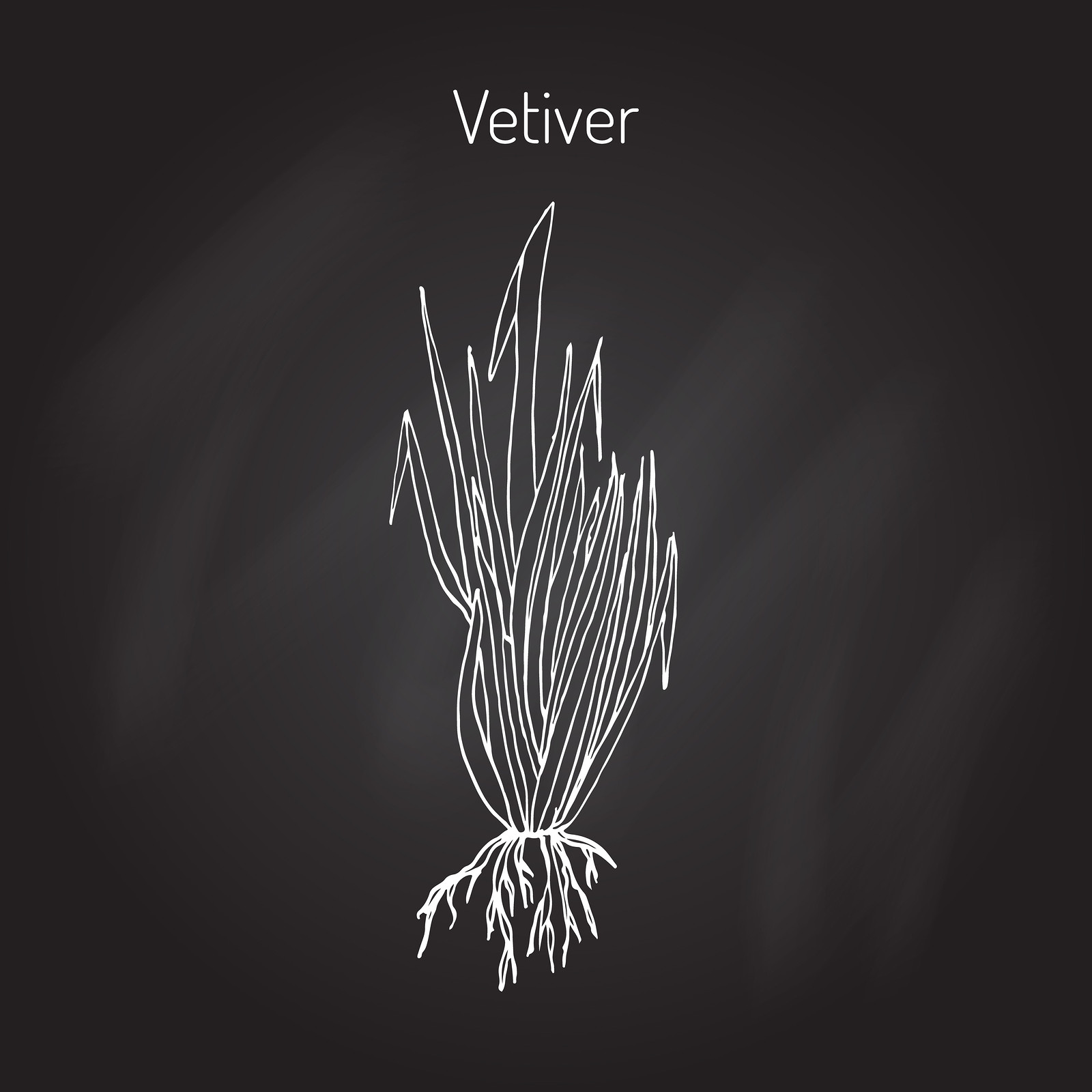 The vetiver plant. its essential oils are used for treating the root chakra.